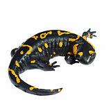 Fire Salamander, Salamandra maculosa, Salamandra salamandra isolated on white background