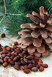 pine nuts, with cedar cones and fir tree in the background