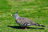 Crested Pigeon (Ocyphaps Iophotes) - Australian Bird