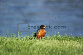 A robin on the riverbank