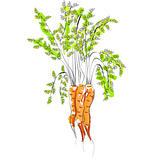 Illustration of Carrot