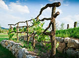 Grapevine Trellis