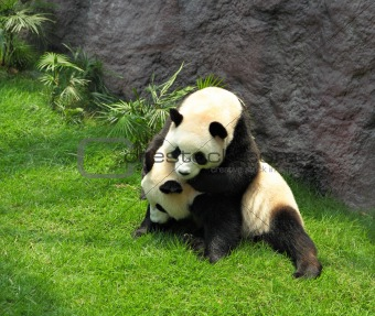 two pandas playing