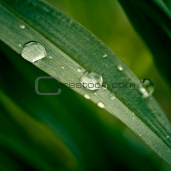 Grass with dew drops close up