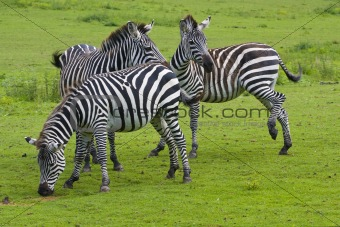 Three zebras on a green grass