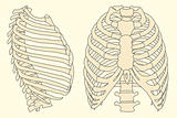 human rib cage