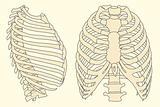human rib cage