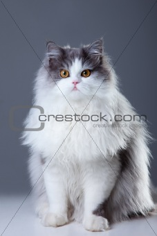 persian cat sitting on grey background