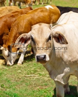 australian beef cattle herd