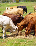 australian beef cattle brown and white calves feeding