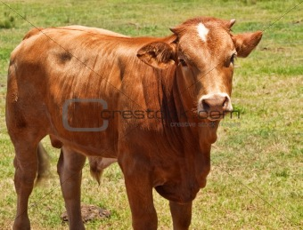 australian beef cattle, young hereford angus cross bred cow