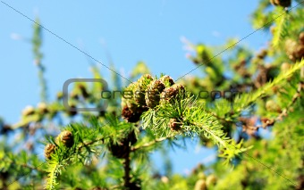 branch of the larch