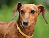 dachshund