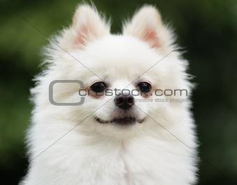 adorable white pomeranian