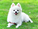 adorable white pomeranian