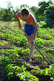 A young man weeding the beds with potatoes