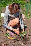 Woman planting and potting a tomato plant in the garden