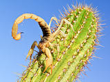 Giant Hairy Scorpion climbing on a Cactus