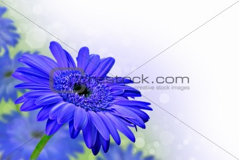 Close up abstract of  purple daisy gerbera flowers