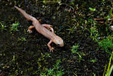 Rare Albino Newt Without Color Pigments And Red Eyes