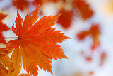 red maple leaf on blurry background