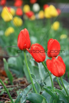 Beautiful spring tulip red and yellow