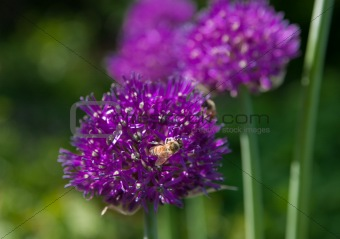 Bees pollinate the flowers of garlic