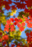 beautiful scarlet maple leaves in autumn