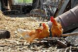 Hens in rustic farm yard