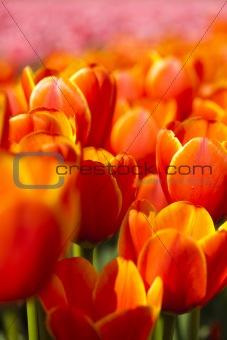 Beautiful spring tulip