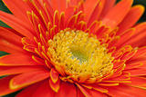 Orange Gerbera Close-up