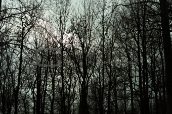 Silhouettes of tress in a dark forest