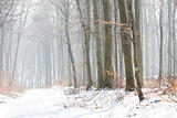 Winter Landscape of a forest in fog