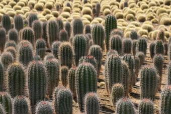 Cacatus plantation