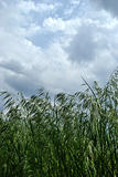 Dark green ears of grass against sky with rainclouds