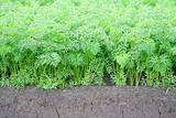 Carrot field