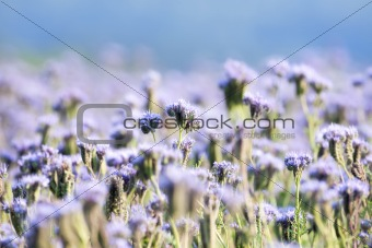 agriculture - close up of a phacelia flower in a filed with blue sky