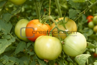Bunch of big tomatoes