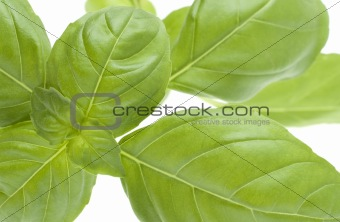 Close Up Image of Basil Plant Leaves
