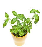 Basil Plant in Yellow Pot From Above