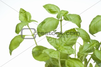 Close Up Basil Plant