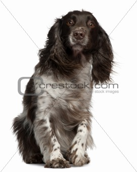 American Cocker Spaniel with windblown hair, 2 years old, sitting in front of white background