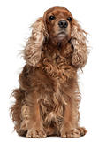 English Cocker Spaniel with windblown hair, 8 years old, sitting in front of white background