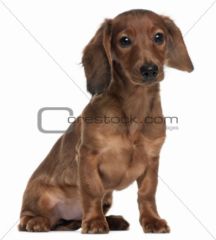 Dachshund, 5 months old, sitting in front of white background