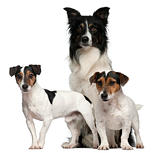 Border Collie  and Jack Russells, 7, 5, and 3 years old, in front of white background
