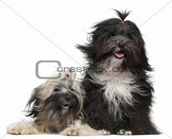 Tibetan Terriers with windblown hair, 2 and a half years old and 1 year old, in front of white background