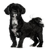 Shih Tzu standing in front of white background