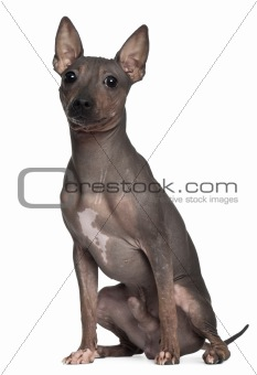 American Hairless Terrier, 6 months old, sitting in front of white background