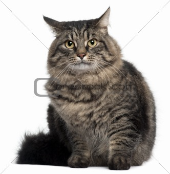 Cross Breed Cat sitting in front of white background