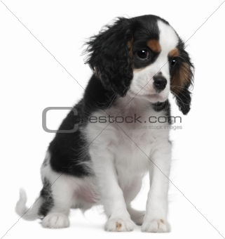 Cavalier King Charles, 10 weeks old, sitting in front of white background